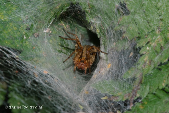 Agelenopsis sp. female in funnel web
