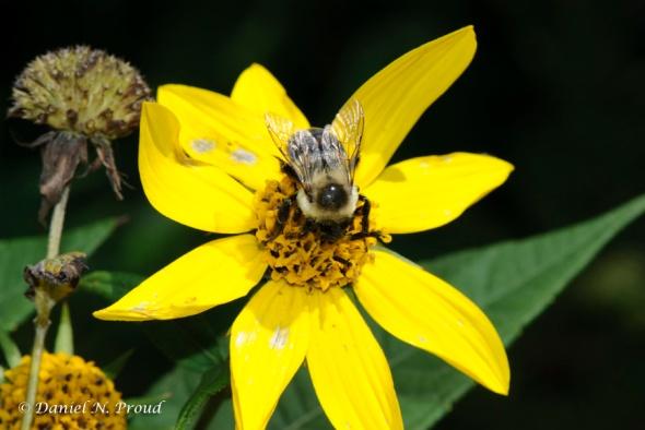 Elk Knob Bumblebee