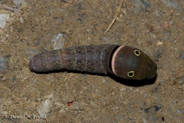 Eastern Swallowtail Caterpillar 2