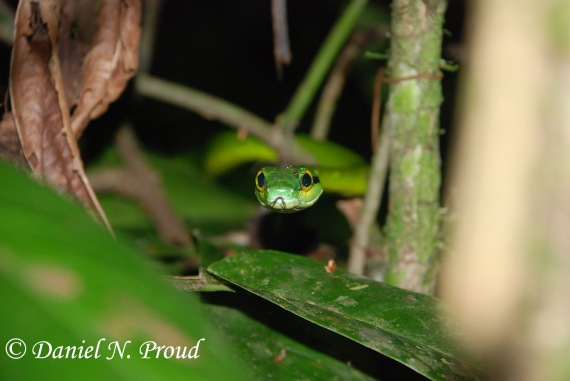 Satiny Parrot Snake - Leptophis depressirostris (Colubridae)