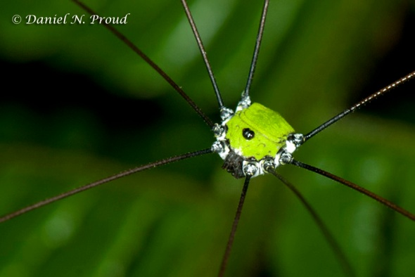 "Prionostemma sp. ""verde"" - The green harvestman"